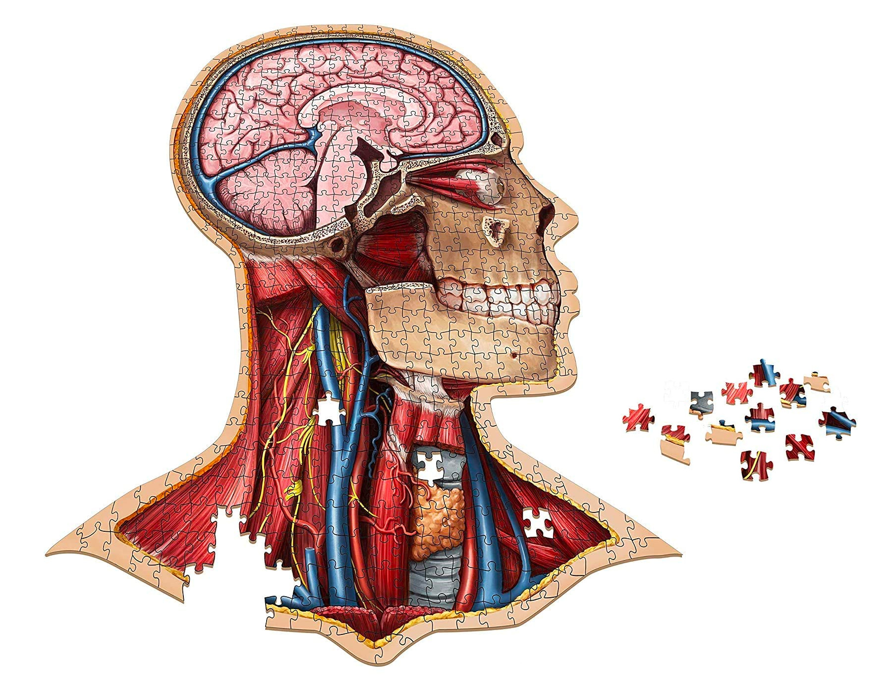 Explore Human Anatomy with a Scientific Jigsaw Puzzle at werd.com
